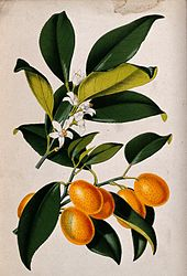 A_lemon_plant_(Citrus_japonica);_flowering_and_fruiting_stem_Wellcome_V0044760